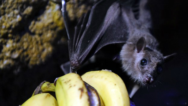 Guinea Ebola outbreak: Bat-eating banned to curb virus