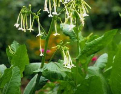 Tobacco-Nicotiana-sylvestris--I