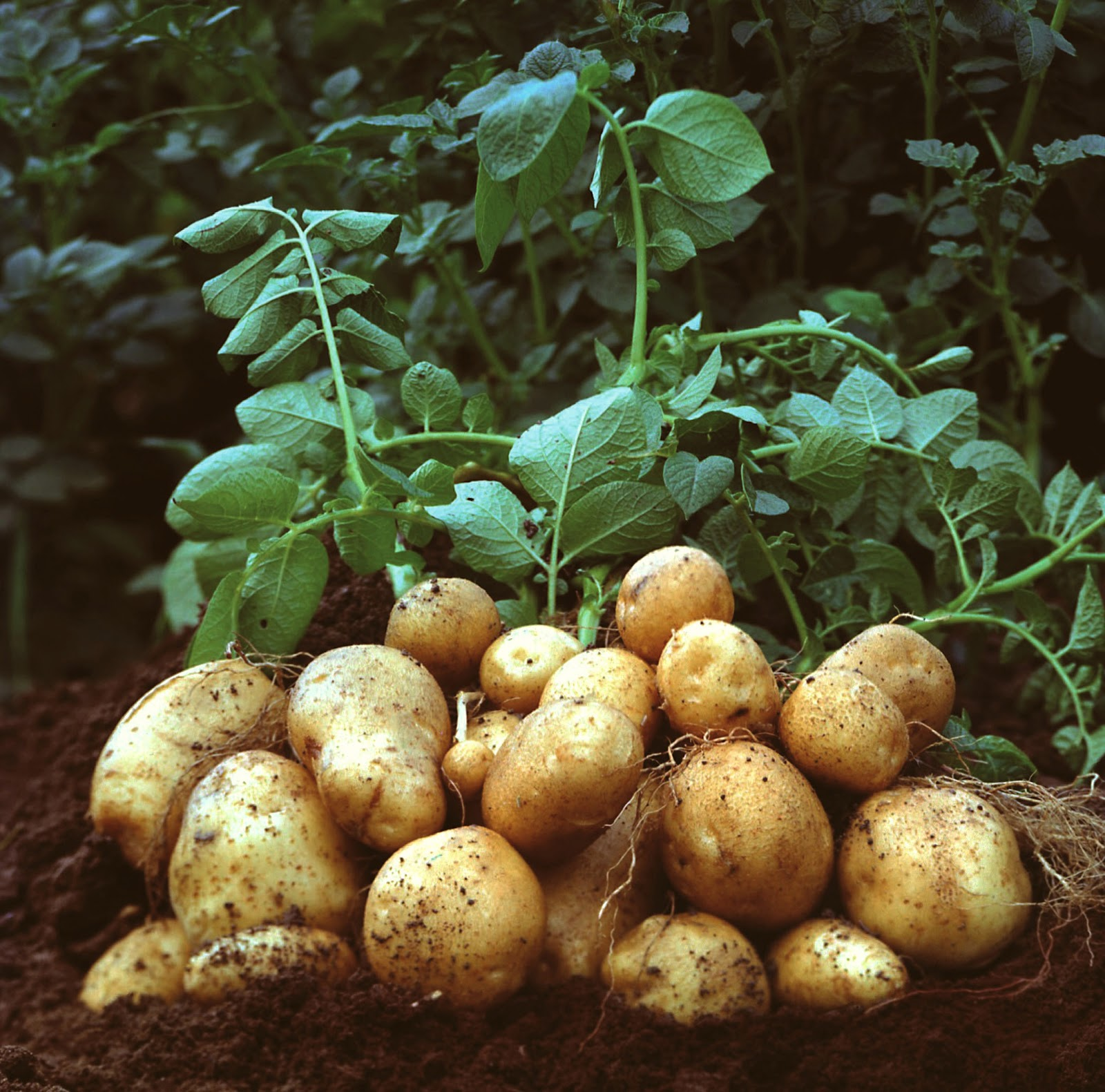 http://www.texilaconnect.com/wp-content/uploads/2014/06/potato-plant.jpg