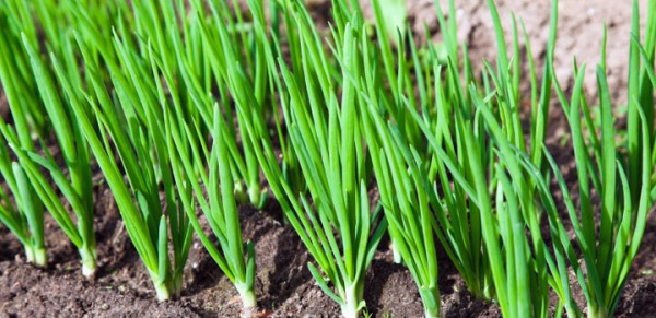 spring-onions1