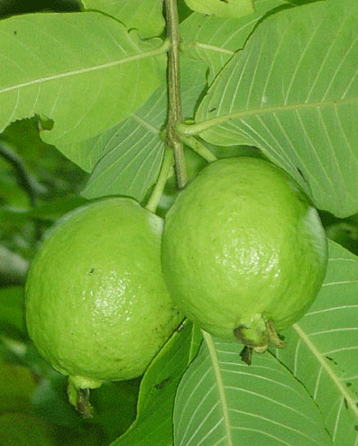 Guava leaves cure for Diabetes